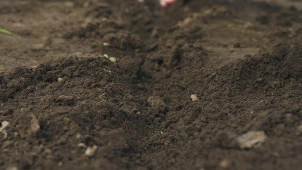Die Bauern säen per Hand einen Samen in die Erde. Nahaufnahme
