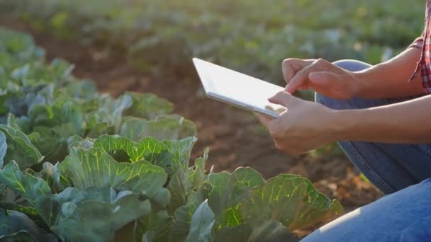 Woman working with tablet in a cabbage field. Close-up