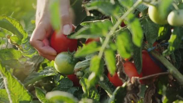 Samice si vybíjí zralá červená rajčata z keře