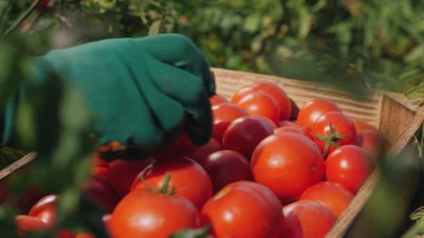 Hände eines Arbeiters, der Tomaten in eine Kiste legt, Nahaufnahme