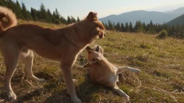 Two redhead dogs are fooling around in nature