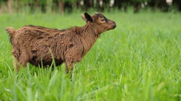 Uprostřed zelené trávy se pasou hnědé kozy