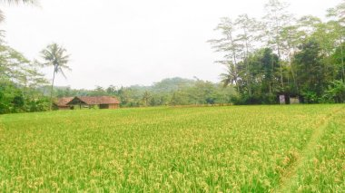 when my ripe paddy field sart to harvesting