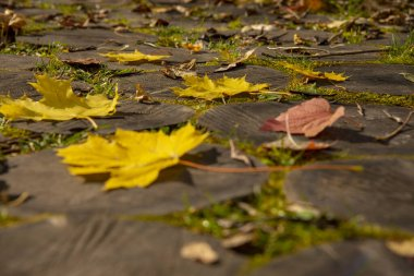 Bright maple and hawthorn leaves on the wooden-tiled walkway.Close up.