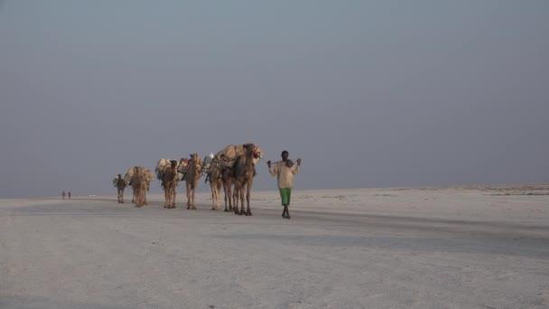Ethiopia. Caravan of camels in the desert