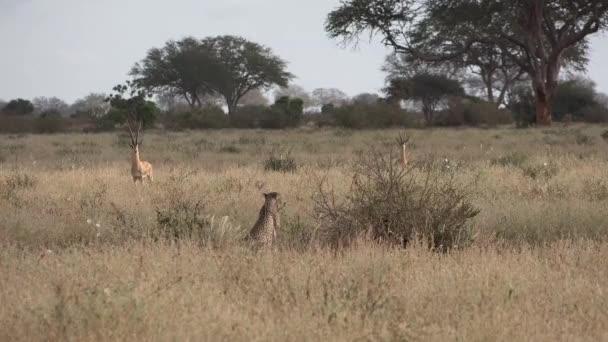 Kenyában. Gepárdok az afrikai szavannában.