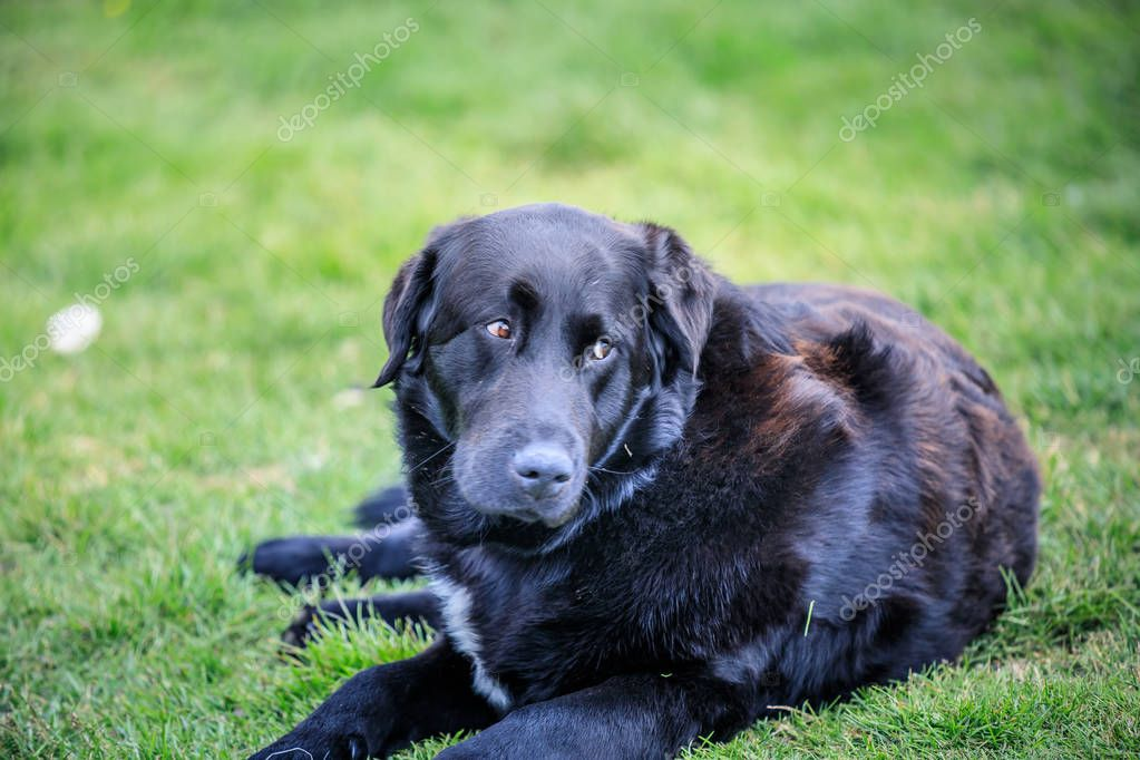 black and brown labrador dog lies on the grass iceland