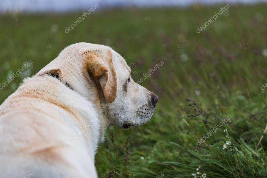 white, yellow labrador dog lies on the grass iceland