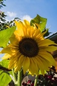 Closeup of a Brilliant Yellow Sunflower in a garden in germany