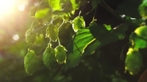 Zelené čerstvé chmelové hlávky pro výrobu piva a chleba v podsvětlém zpomaleném pohybu
