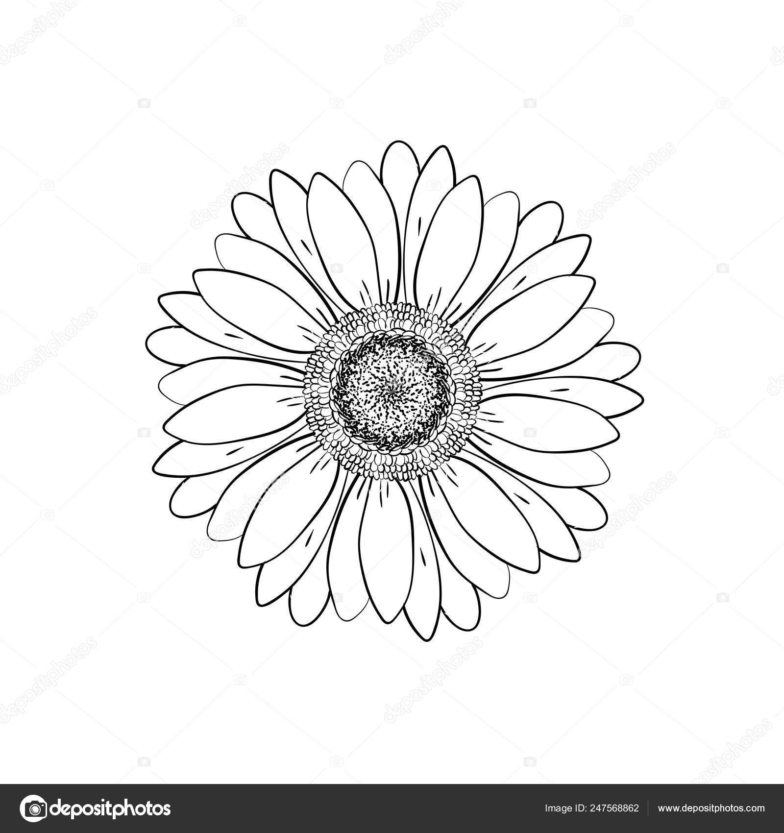 Gerber Daisy Line Drawing Open Petals Daisy Head Flower