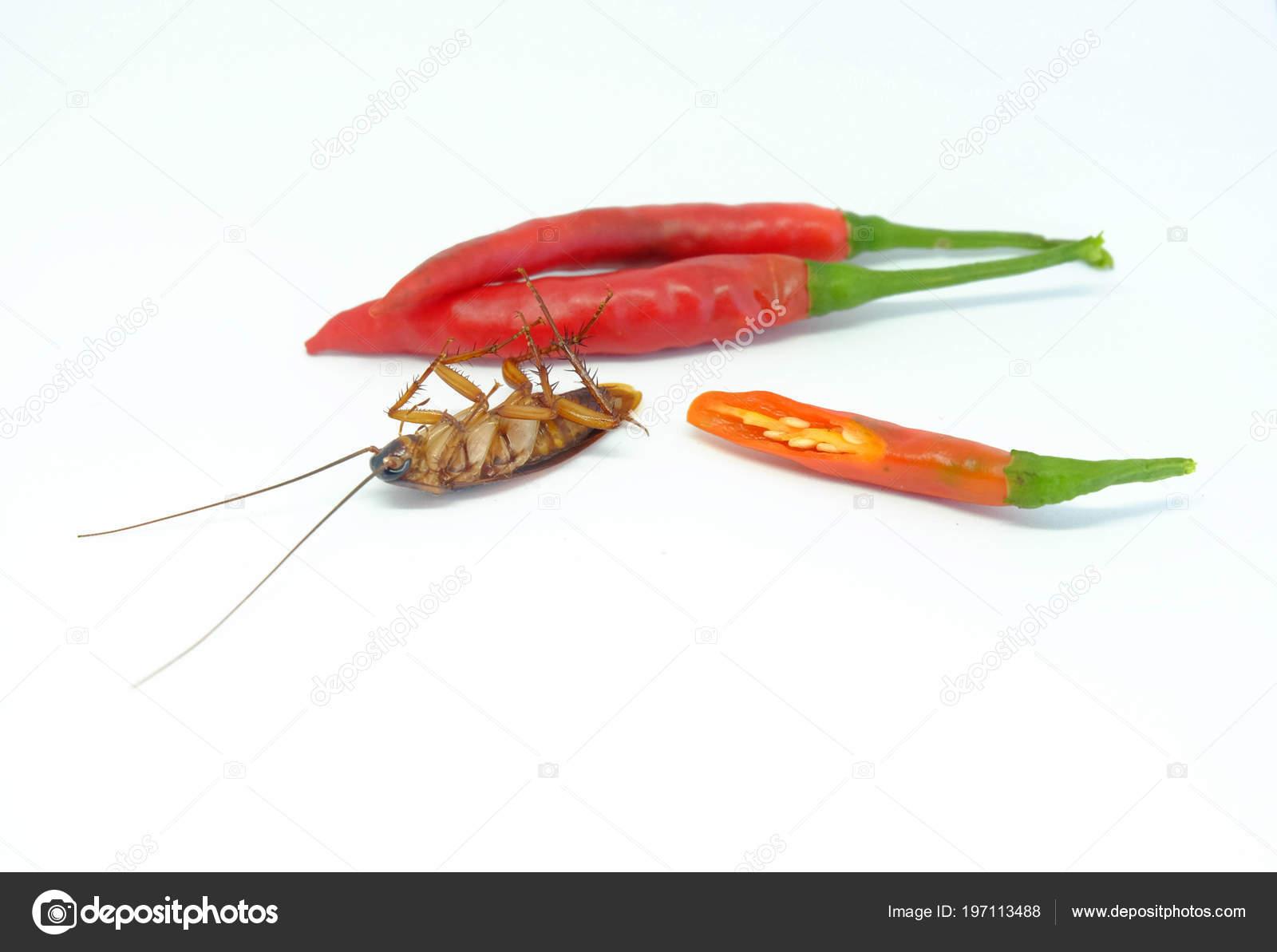 Chasser Les Cafards piment peut chasser les cafards close piment cafard sur style