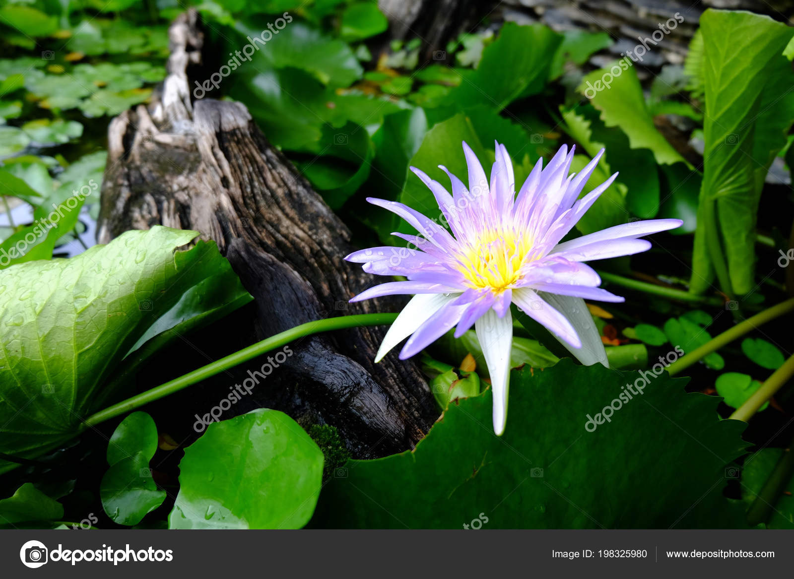 Beautiful purple lotus flower green lotus leaf background perple beautiful purple lotus flower and green lotus leaf is backgroundperple lotus flower is above the water in the pond and has a lotus leaf and wood photo by izmirmasajfo