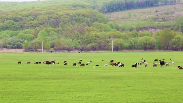 Krávy se pasou a odpočíjí na jarních nebo letních loukách s čerstvou, jasně zelenou trávou