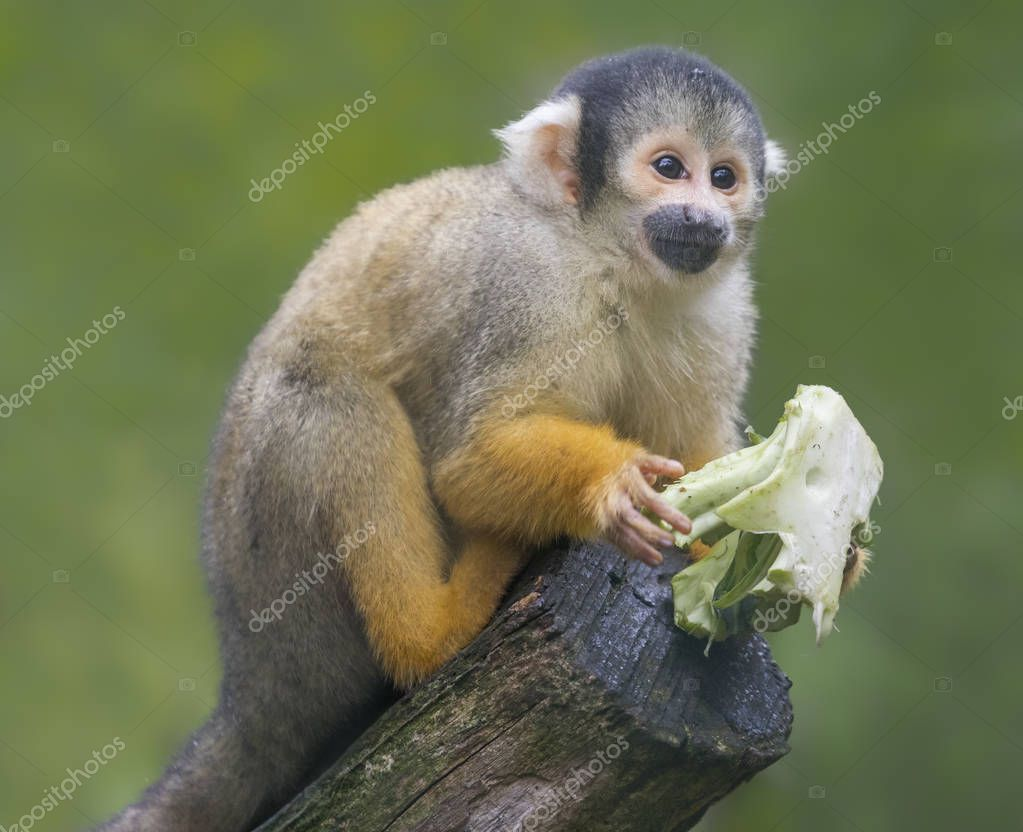 Close up of a Black-capped Squirrel Monkey (Saimiri boliviensis)