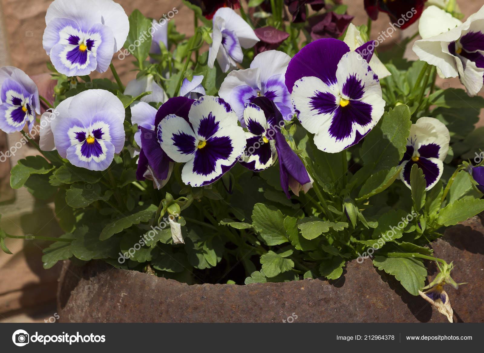 Violets Pansies Violet Pansies Viola Herbaceous Annual Biennial