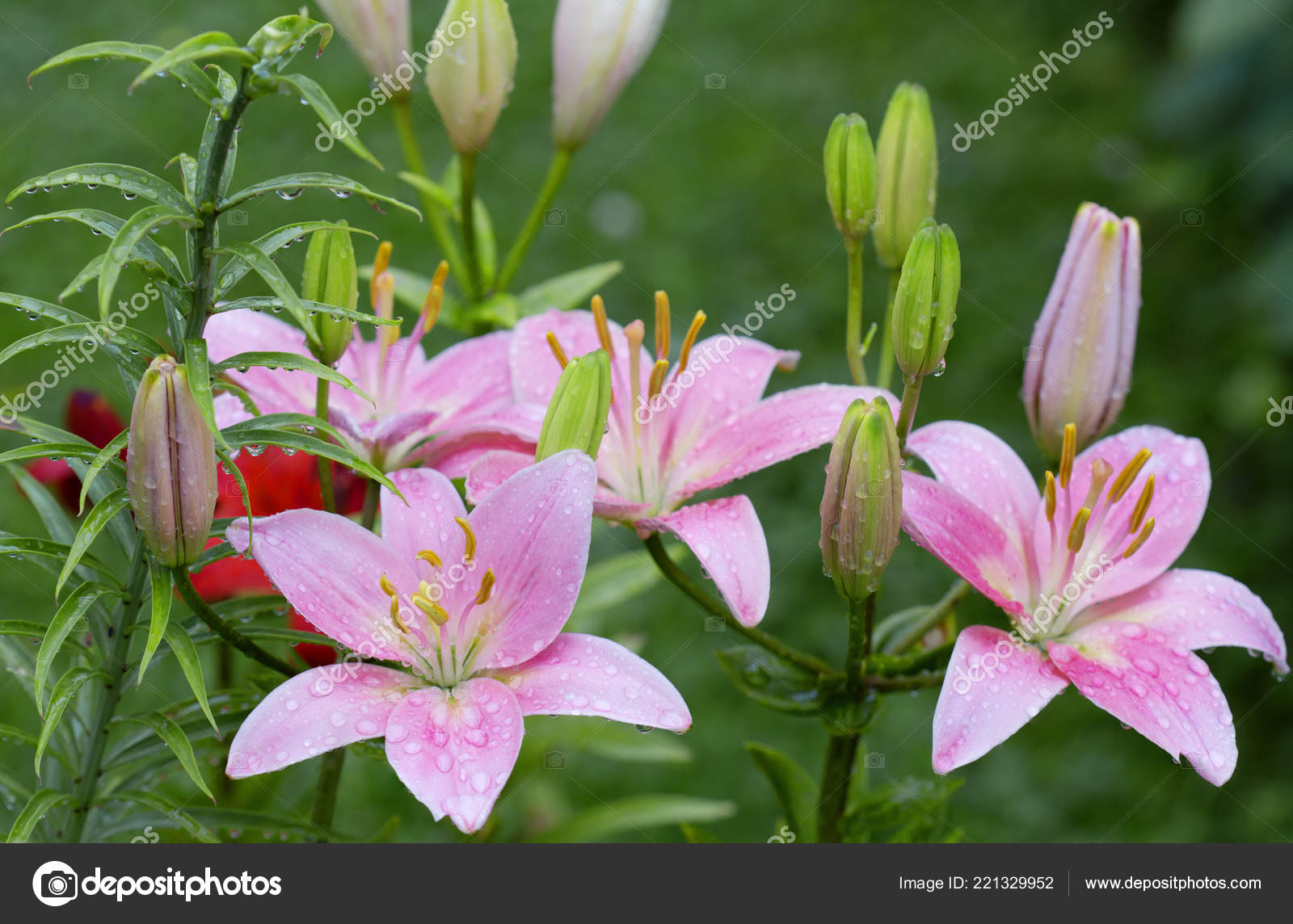 Pink Lily Scientists Consider Asia Birthplace Lily Creation New