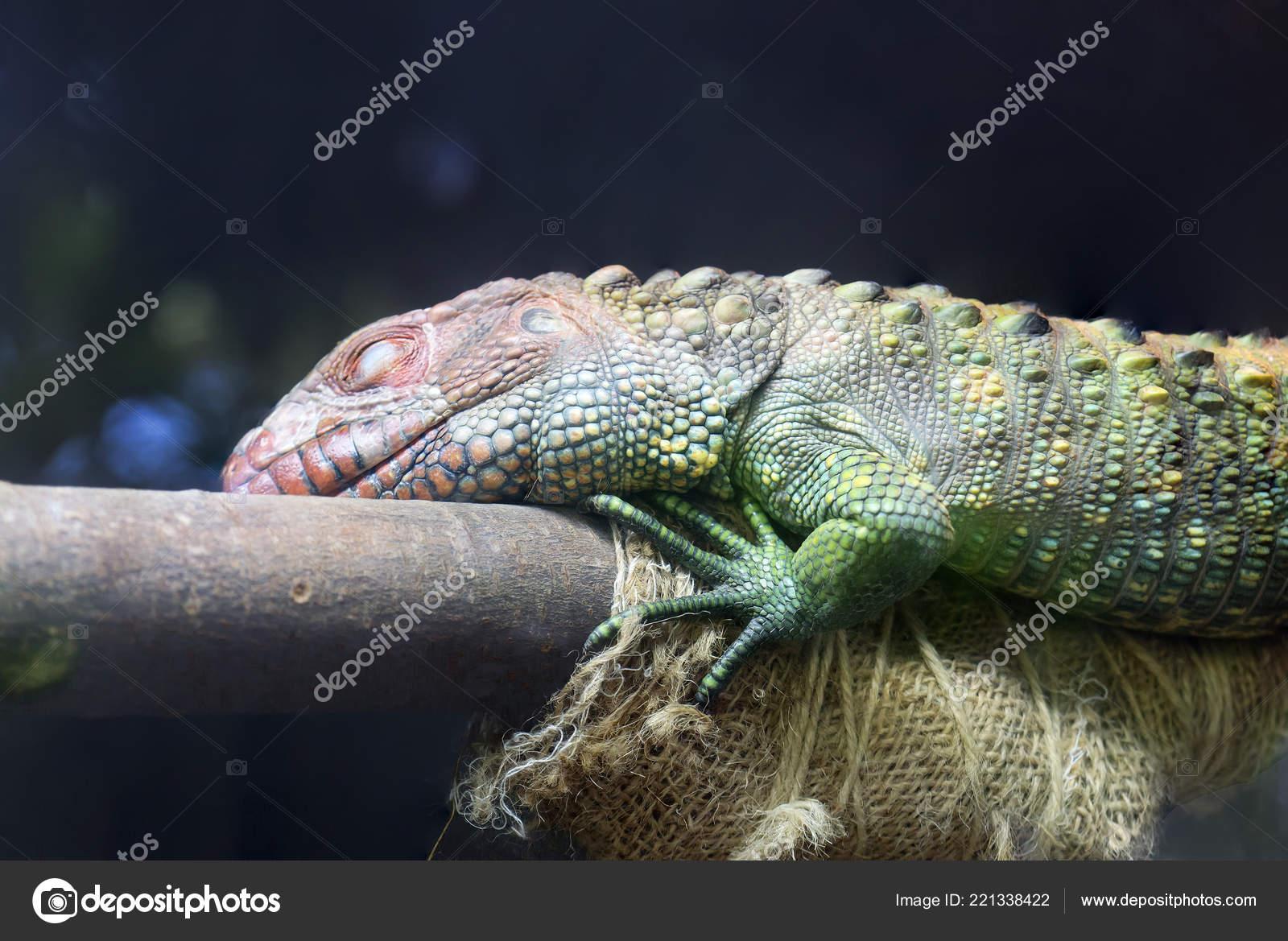 Northern Cayman Lizard Caiman Lizard Species Large Semi