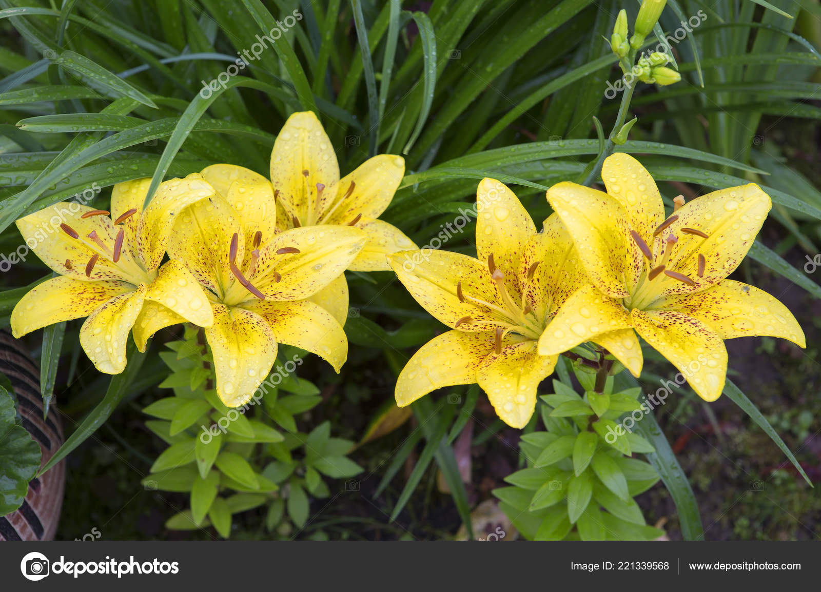 Yellow Lily Scientists Consider Asia Birthplace Lily Creation New
