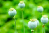 Plody opia mápy, které jsou občas fotografem krajiny.