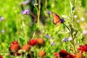 Szép királyné pillangó pihen a tavaszi vadvirág kertben
