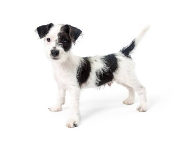 Cute young black and white color Jack Russell Terrier crossbreed puppy dog standing and looking at camera isolated on white background, close-up