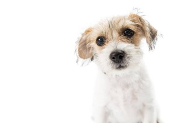 Cute young tan and white color Jack Russell Terrier crossbreed puppy dog looking at camera isolated on white background, close-up