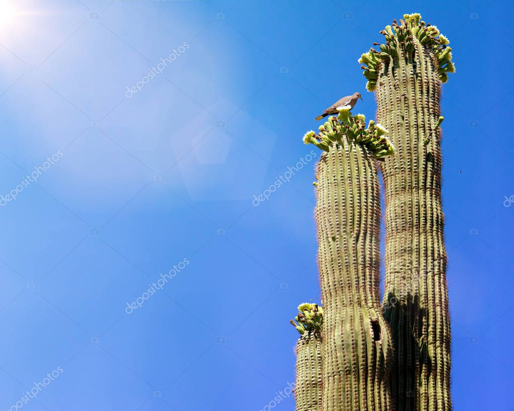 Bird on top of blooming flowers of tall saguaro cactus on clear blue sky background