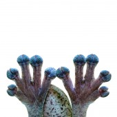 Fotografie Funny photo of gecko lizard hands and fingers clinging on to clear glass with a white background