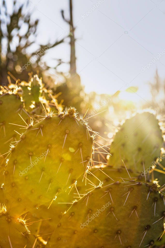 Closeup of prickly pear cactus with sun flare and copy space