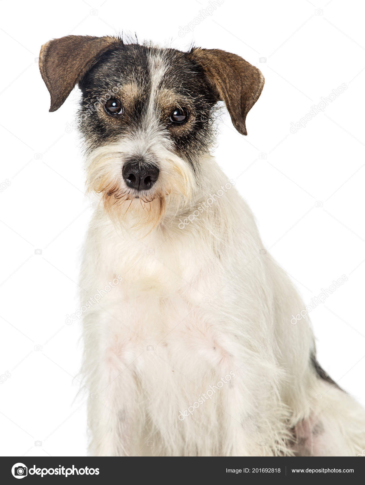 Closeup Cute Wire Haired Tri Color Terrier Mixed Breed Dog — Stock ...