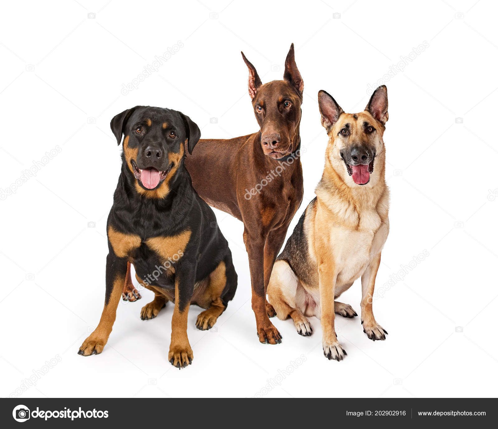 Three Large Breed Guard Dogs White Including Rottweiler German