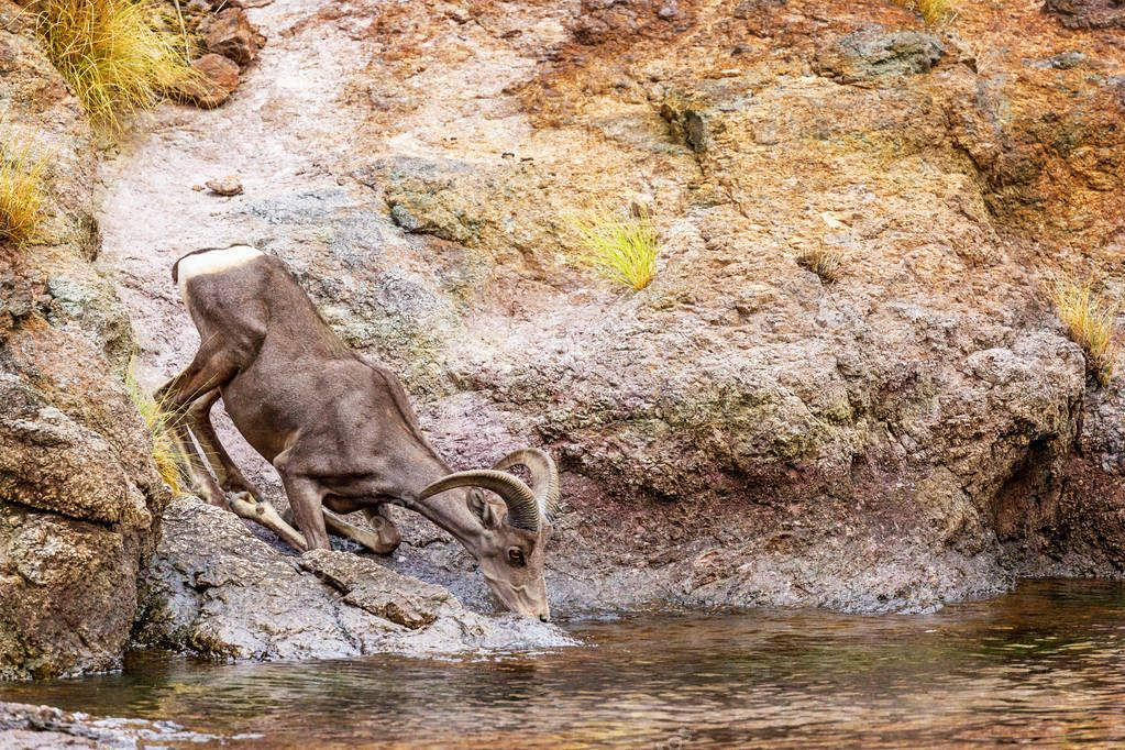 Beautiful Bighorn sheep drinking water from the shore of Canyon Lake in Arizona on a hot summer day