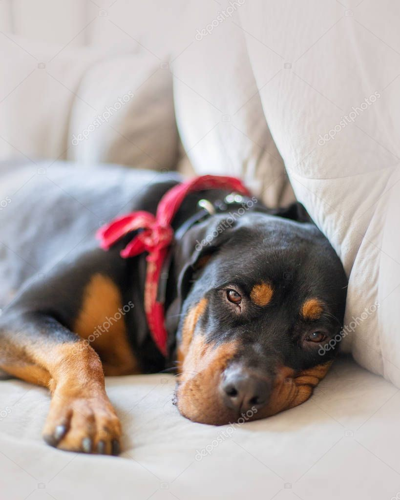 Tired large Rottweiler breed dog lying on couch and looking at camera with sleepy expression