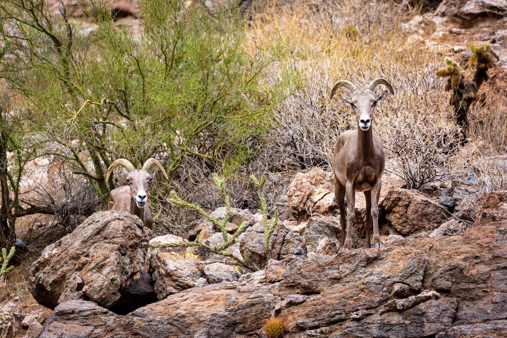 Two beautiful bighorn sheep standing on the rocky mountainside of the Superstition Mountains in Arizona, USA
