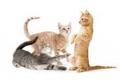 Fotografie Tři roztomilé Hravá koťata s napět, barva mourovatá srst v buff, oranžové a šedé. Izolované na bílém