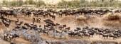 Velká stáda pakoně a zebry na březích řeky Mara v Keni Africe během období migrace