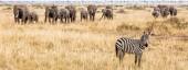 Fotografia Bandiera orizzontale di zebra e grande mandria di elefanti in Kenya, Africa