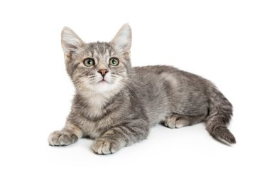 Cute young grey color tabby kitten lying down on white and looking up