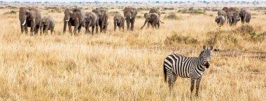 Horizontal banner of zebra and large herd of elephants in Kenya, Africa