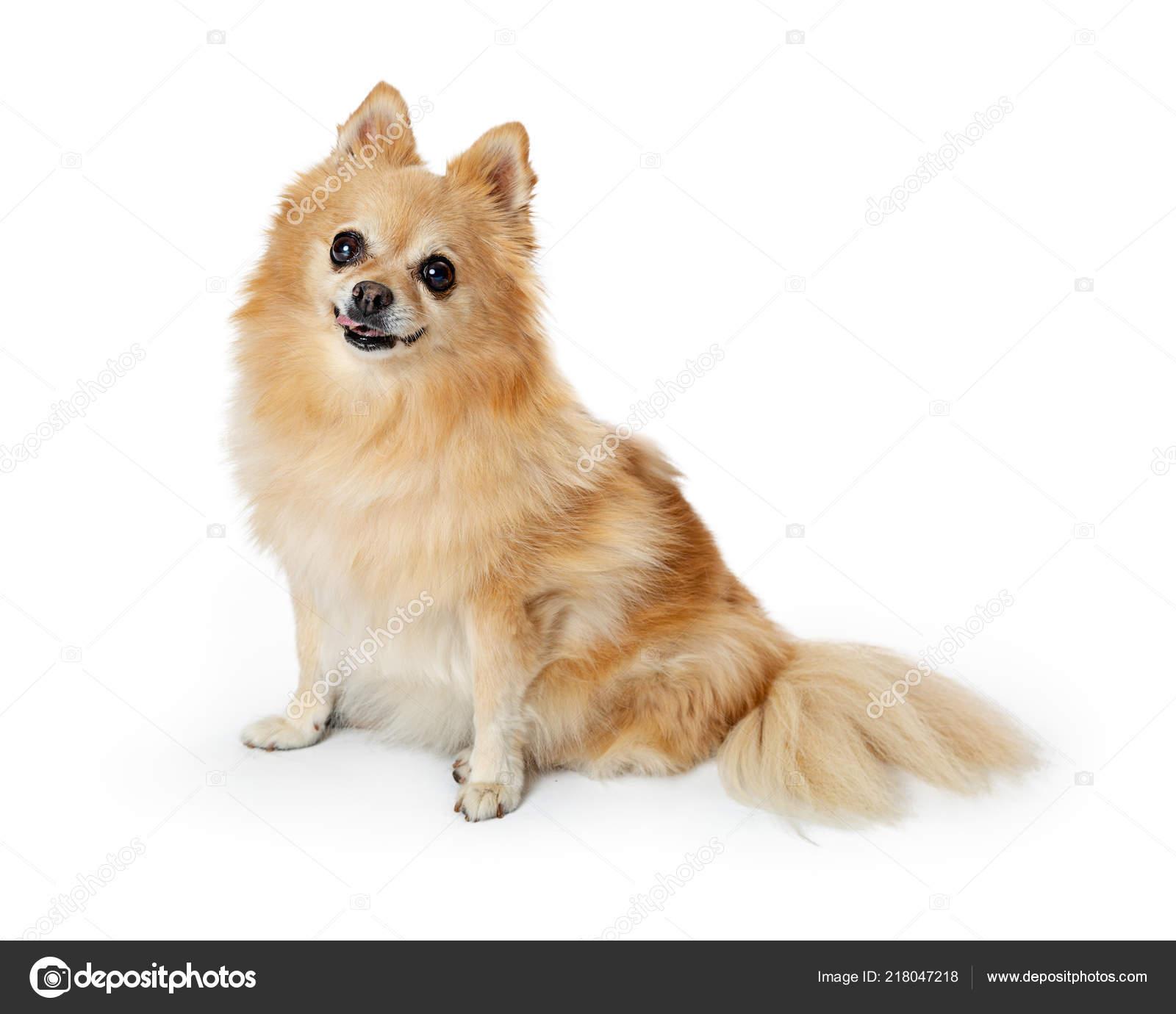 Cute Pomeranian Dog Sitting White Background Looking Camera Happy