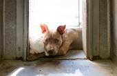 Smutný pitbulteriér pes ležící v slunci mazlení plyšák v kotci ve zvířecím útulku