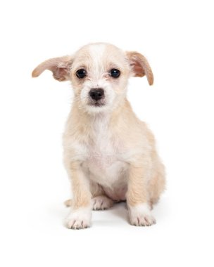 Cute Little Scruffy Terrier Puppy Sitting