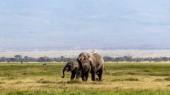 Matka a dítě slon africký v Amboseli