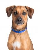 Closeup hnědý pes směřující dopředu