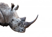 Photo Southern White Rhino Horn Closeup Extracted