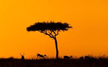Silhouette of impala jumping around acacia tree in Kenya, Africa at golden orange sunset stock vector