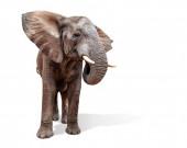 Velký dospělý africký slon klapky uší a stojí izolované proti bílému pozadí studia