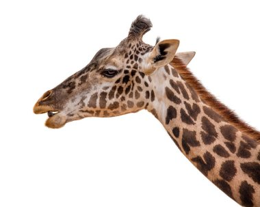 A studio closeup shot of a Masai giraffe  facing left with his mouth open and tongue beginning to protrude, isolated on white background stock vector