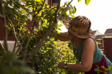 mature woman gardener, pruning the branches of a tree in her garden in the light of dusk, back light